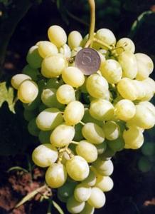 описание грозди восторг