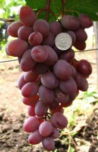Гроздь винограда Виктория