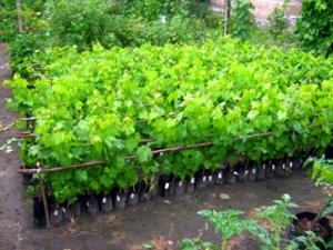 Черенки винограда виктория