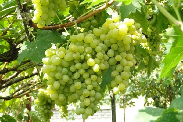 Виноград Августин, черенкование, виноградные питомники