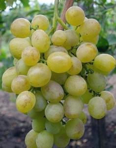 Виноград, восторг, размножение винограда