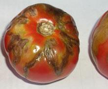 Болезни томатов, томатная мозаика