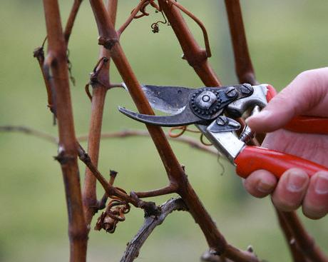 Обработка винограда, обрезка виноградной лозы