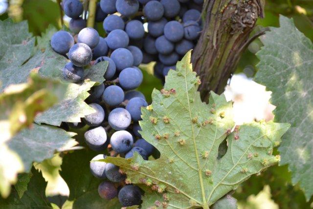 Филлоксера (виноградная тля)