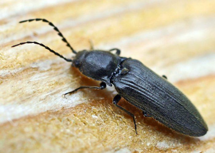 Проволочник – это личинка жука-щелкуна